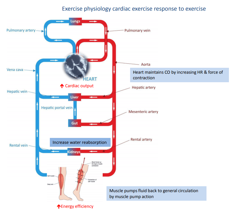 cardiac exercise response