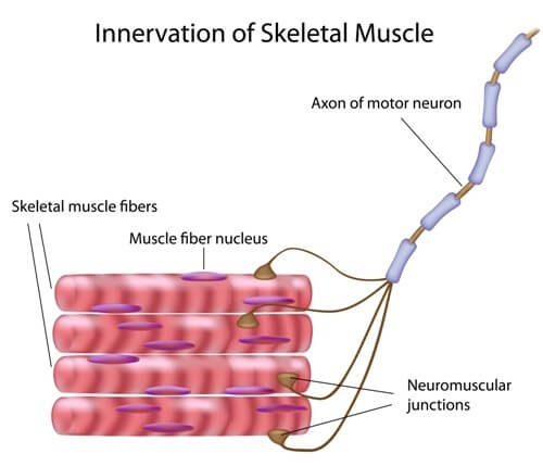 Muscle contraction is controlled by nerve stimulation. This stimulation is done voluntary from the brain or regulated by involuntary control via reflex nerve stimulation.
