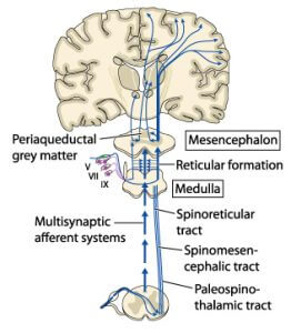 Pain pathway is the Spinothalamic pathway by which the perceived pain is relayed to the specific receiving sensory area in the brain