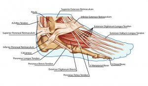 Resisted big toe extension (Extensor Hallucis Longus muscle)