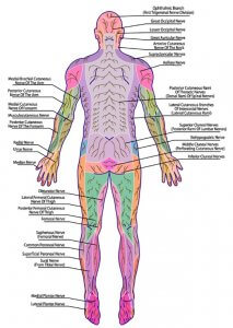 Sensory cutaneous nerves