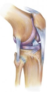 Muscle and Tendon Attachments around the Knee