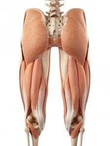 Anatomy: Muscles around the knee joint