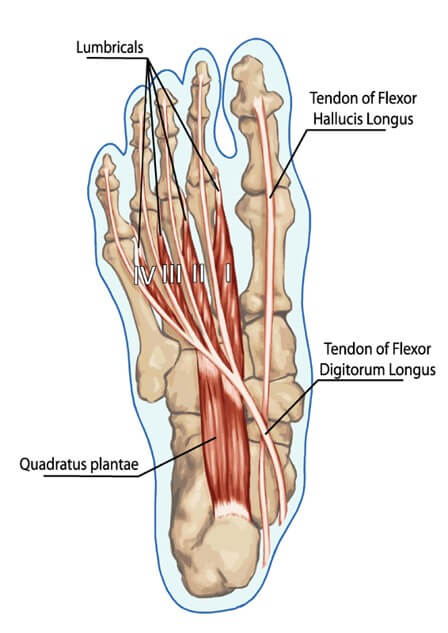 Foot muscle anatomy