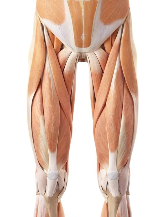 Muscles around the hip joint