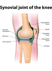 Synovial joint of the knee