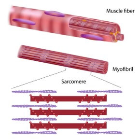 Sarcomere: Basic muscle unit consists