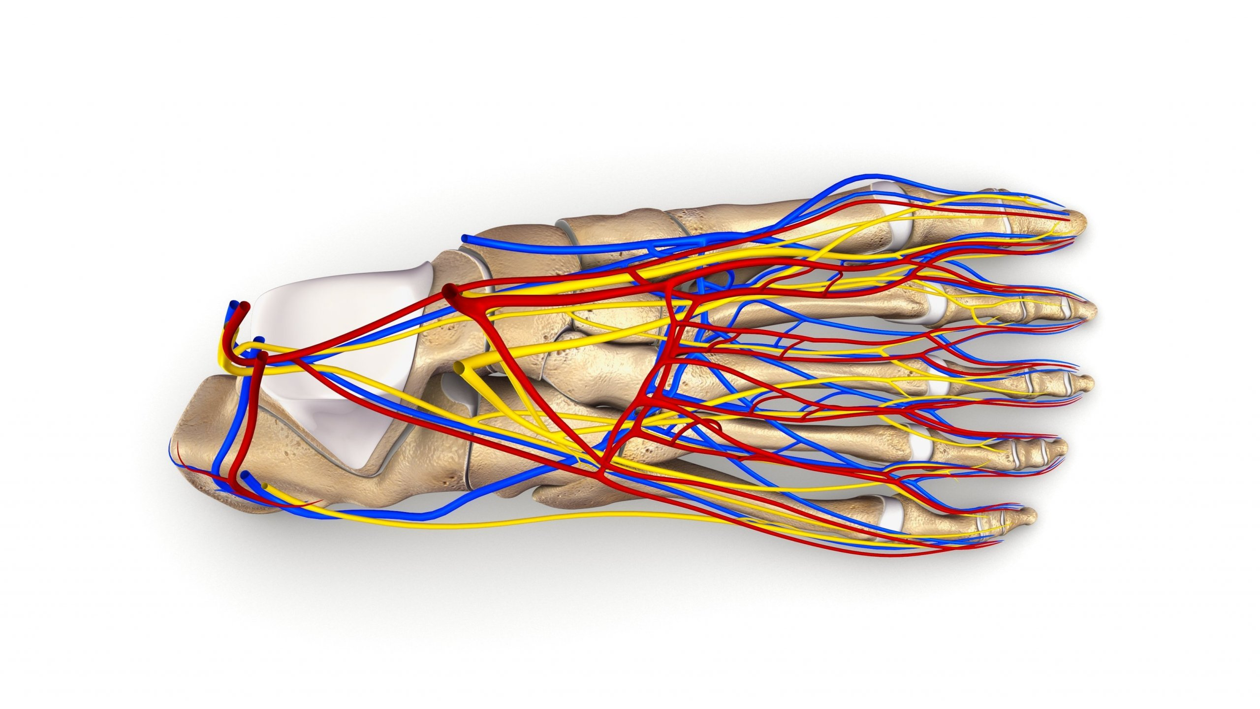 Blood and nerve supply of foot