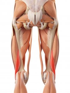 Anatomy: Muscles for Pelvic Fractures