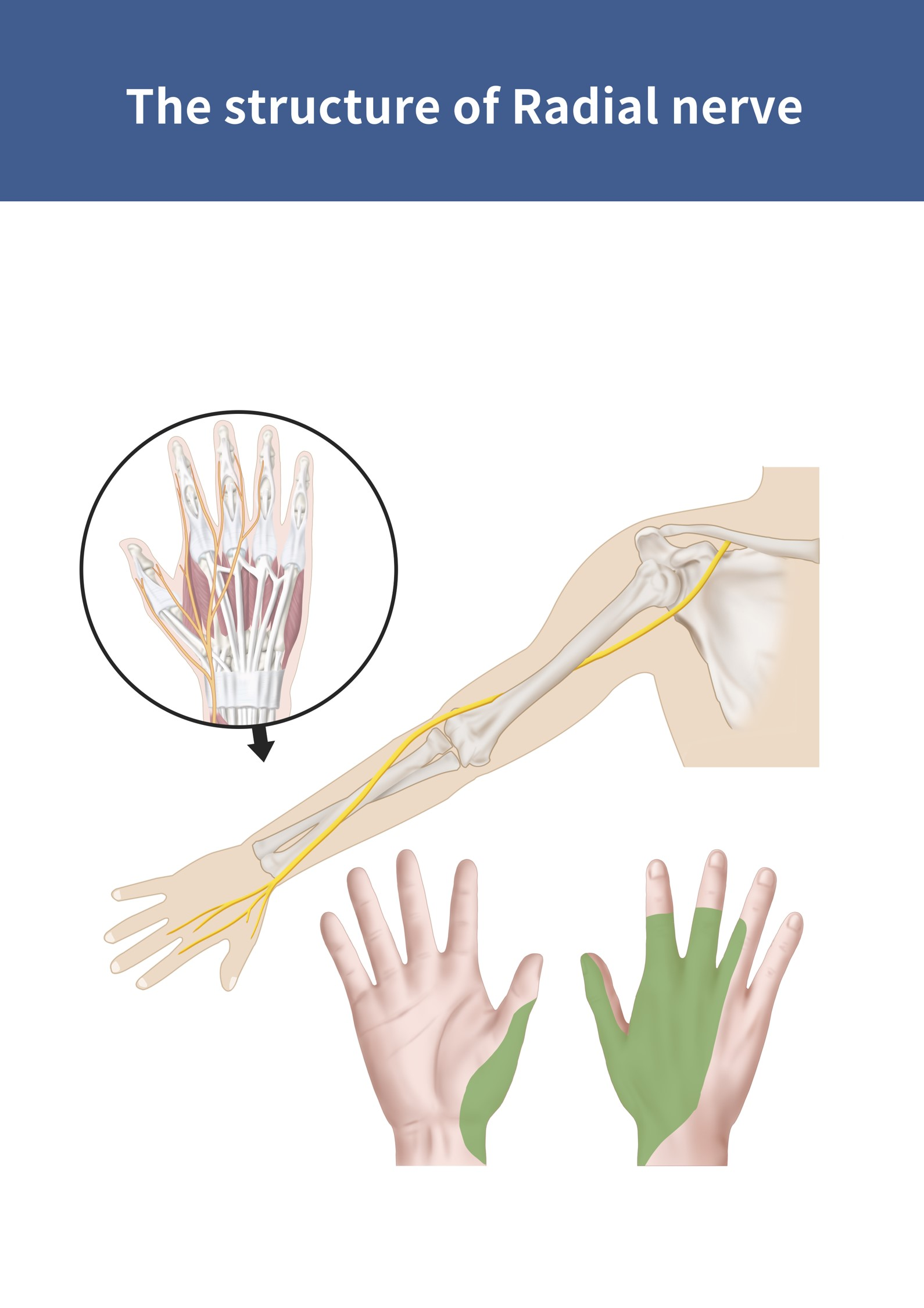 The structure of Radial nerve